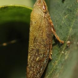 cicade aphrophora salicina