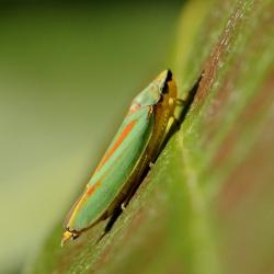 cicade rhododendroncicade
