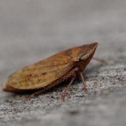 schuimbeestje of schuimcicade -Philaenus spumarius