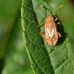 Gestippelde knotswants - Rhopalus maculatus