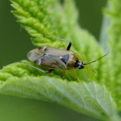Harpocera thoracica vrouwtje