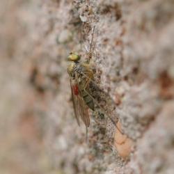 slankpootvlieg, mogelijk Liancalus virens, met een passagier (mijt).jpg