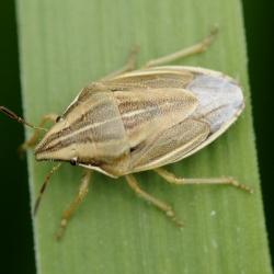 mijterwants - Aelia acuminata