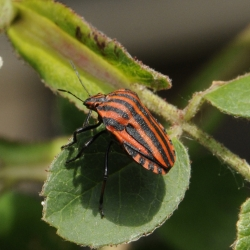 pyamawants - Graphosoma lineatum