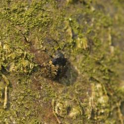 nimf roodpootschildwants - Pentatoma rufipes