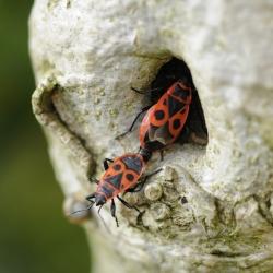 vuurwants - Pyrrhocoris apterus paring