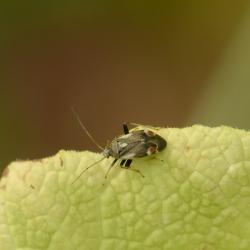 Polymerus palustris - Witgevlekwalstowants