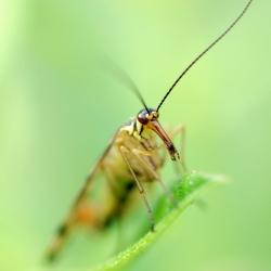 schorpioenvlieg