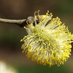 plant wilgenkatje
