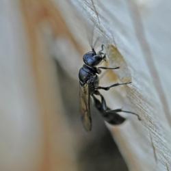 Pottenbakkerswesp (mannetje), een spindodende graafwesp