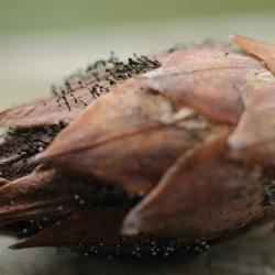 pycnostysanus azaleae azaleaknopvretertje