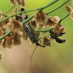 2015.06 Weideschorpioenvlieg - Panorpa vulgaris (onzeker) vrouw.jpg