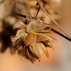 plant hopbel
