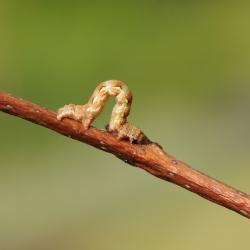grote wintervlinder rups