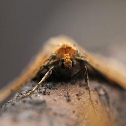 grote wintervlinder