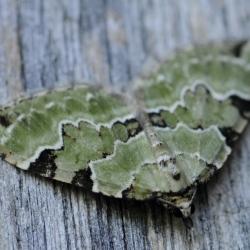 kleine groenbandspanner