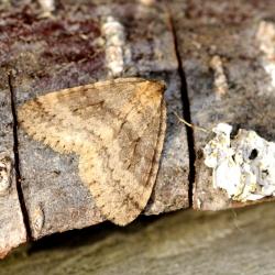 kleine wintervlinder