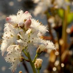 plant waterdrieblad