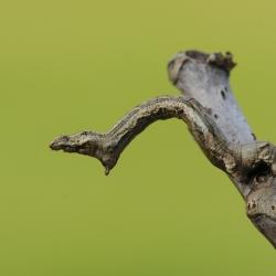 vliervlinder rups