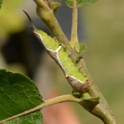 witte hermelijnvlinder rups5