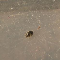 Byrrhidae, wellicht Simplocaria seminstriata
