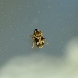 klopkever Ptinidae Hedobia sp