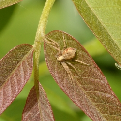 gewone (struik)krabspin (Xysticus cristatus)