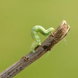 kleine wintervlinder rups