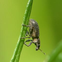 Polydrusus spec