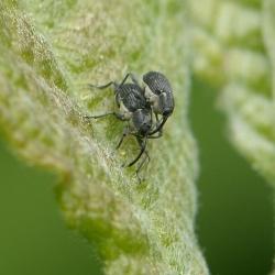 wilgengalsnuitkevers
