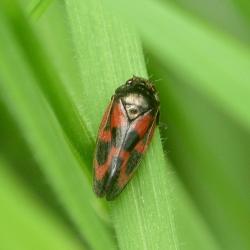 roodzwarte dennencicade