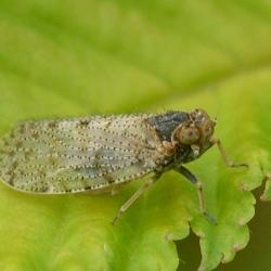 cicade Tachycixius pilosus