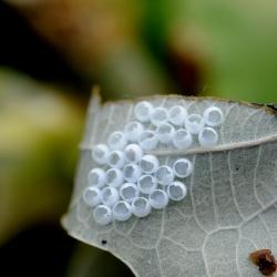 nachtvlinder lege eieren wapendrager