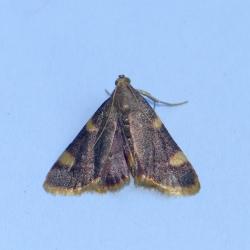 triangelmot