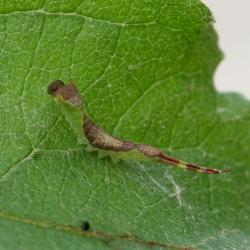 kleine hermelijnvlinder rups5
