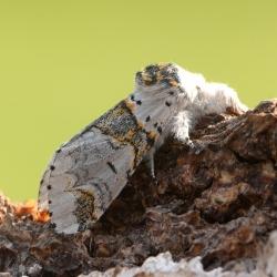kleine hermelijnvlinder vlinder