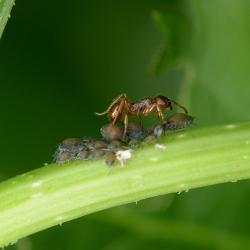 mier met bladluizen