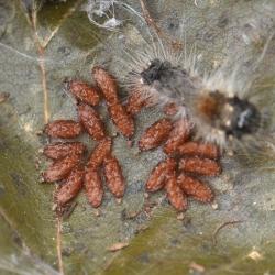 hazelaaruil rups infectie sluipwespen