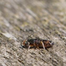 springstaart Tomocerus vulgaris