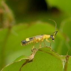 weekschildkevertje malthinus flaveolus