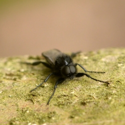 rouwvlieg frontaal