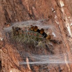 witvlakvlinder spinsel