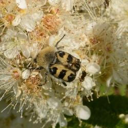 penseelkever met mieren