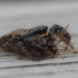 schorsmarpissa met vliegende mier