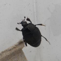 spiegelkever, Histeridae. Vermoedelijk een Saprinus-soort