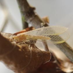 groene gaasvlieg of goudoogje