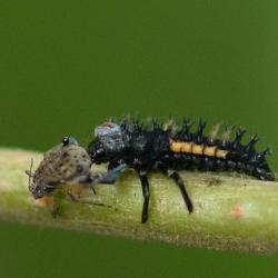 larve lieveheersbeestje met dromedarisluis