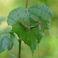 langpootmuggen