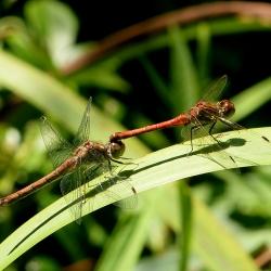 bloedrode heide libellen