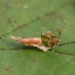 hazelaarvouwmot pop van een parasiet